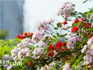 仁寿城里这片蔷薇三角梅花开满墙,美了醉了!我要去看看!