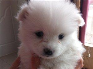 出售博美幼犬一只