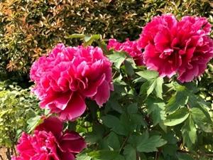 澳门威尼斯人注册植物园的花都开了