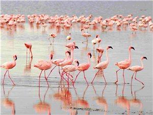 这三只非洲物种在德令哈可鲁克湖一住就是六年!原来动物也会移民!