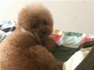 寻物:2018年4月19日18点在巴彦县人民大街丢失泰迪狗名字叫Amy