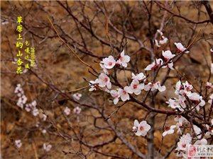 草原上的山杏花