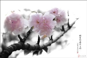 《 樱花烂漫几多时 》
