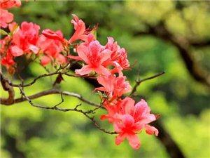4月23人间四月天,西泰山看杜鹃!相遇醉美杜鹃花海,偶遇花仙子!