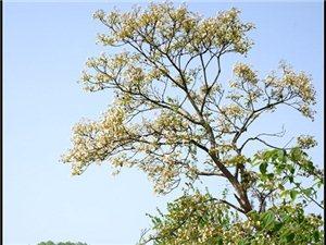 【苍溪】油桐花开含秀色【图】