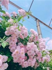蔷薇花廊―醉美的遇见