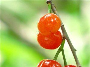 【原创】樱桃熟了,又到吃樱桃的季节,天下第一果,神仙未及鸟先尝