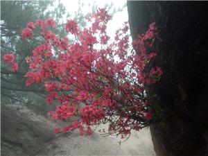 安徽天柱山的映山红欣赏!