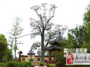 唐朝种的千年老梓树重焕新生开花 长势全国少见