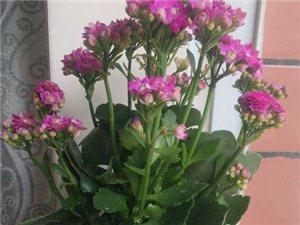 紫红色的长寿花,一年可以欣赏多次开花的植物-广汉华亮园艺推荐