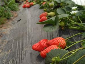 �r村草莓���N