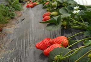 农村草莓滞销