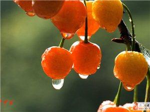 潘家岩的樱桃熟了