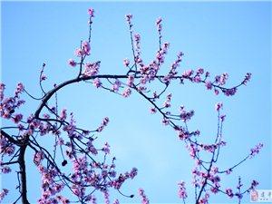 《春天的杏花》