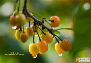 潘家岩樱桃熟了