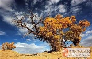 不看格尔木胡杨林,就不懂柴达木的秋