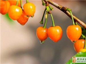 丹江口的特产――樱桃