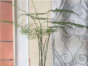 阳台绿植-文竹,书生气息的植物-广汉华亮园艺种植场推荐(图片)