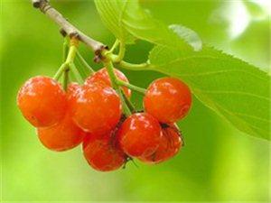又到吃樱桃的季节