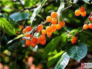 一树樱桃带雨红――丹江口樱桃谷潘家岩欢迎您