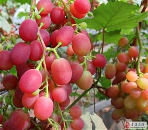 新鲜――祝家营子葡萄采摘