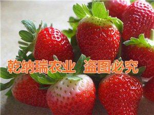 乾纳瑞草莓苗批发预定