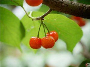 樱桃好吃,树好栽
