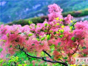 缤纷坡峰岭,黄栌花开,寻踪传说中的蓟门烟树