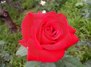 邹城:兖矿招待所的月季稀有品种《带金的红色月季牡丹花》欣赏!