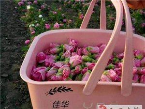 澳门大小点网址的玫瑰园马上迎来花期盛放,想不想进园采摘99朵送给心爱的人呢?