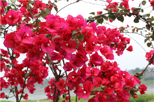 你数过吗,南溪江边总共有多少种花?
