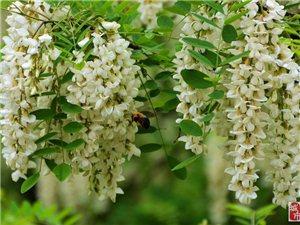 五月,槐花最美的季节