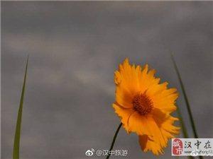 汉中汉江湿地公园金鸡菊