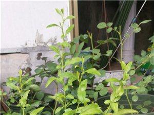 发照片,记录一下盆栽的月季花