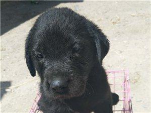 奶白(�赡福�,黑色(一公)拉布拉多幼犬出售,�r格不高