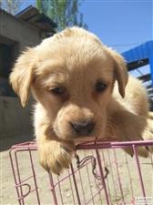 奶白(两母),黑色(一公)拉布拉多幼犬出售,价格不高