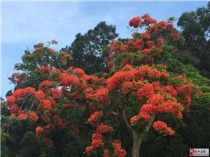 @高州人:听说高州的凤凰花开得美极了,你能带我去看看吗?