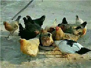 本地出售农村散养柴鸡蛋(支持预定)
