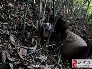 汉中记者偶遇大熊猫