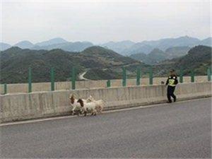 """羊群""""现身""""甬莞高速潮惠段交警及时排险"""