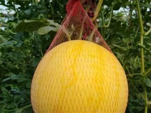 府谷墙头的西瓜熟了!这周末采摘约起,还有油桃、水蜜桃、香瓜子~