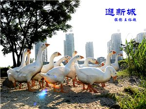 王裕超摄影作品:鹅