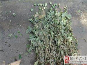 威尼斯人网上娱乐平台八旬老翁种75株罂粟