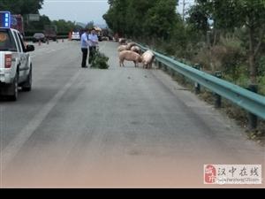 运猪车在高速路上发生侧翻
