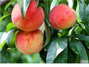 连山耕读庄园的桃子熟了,红里带白,白里透红,散发着醉人的香甜