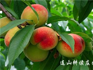 又到桃子成熟时,连山耕读风情公园盛邀市民采果尝鲜(组图)