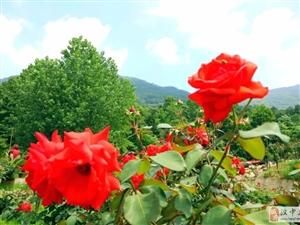 汉山花溪谷震撼开园,50多个品种的月季花高颜值亮相