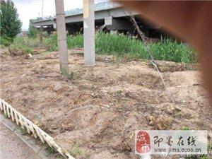 大官庄村书记违法将村委前面十几年的观赏树私自卖掉