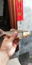 叫河的小河沟里钓的,这是啥鱼?有人知道吗?