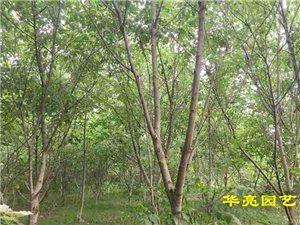 遇见一片核桃林-广汉市华亮园艺种植场即将搬迁致新丰新园林